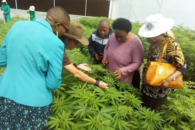 Lesotho's Minister of Labour and Employment Keketso Rantso inspects a cannabis farm
