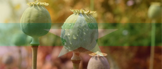 Cultivation of opium in Myanmar continues to rise