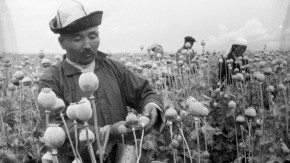 The Uncovered Truth: How the opium poppy cultivation in Kyrgyzstan ended