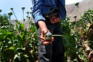 A close-up of an opium poppy in Afghanistan