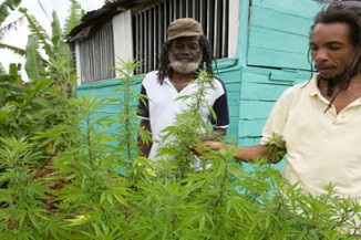cannabis cultivation Jamaica