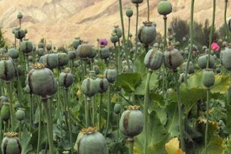 opium golden triangle